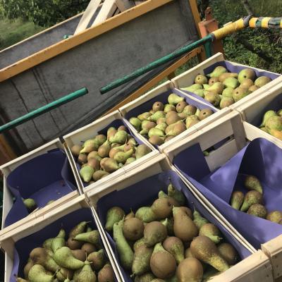 recolte des poires